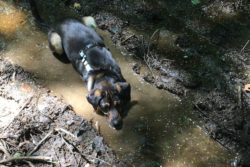 Asha immerses herself in a puddle