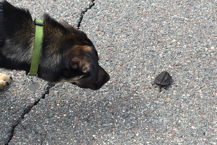 Asha meets a turtle crossing the road